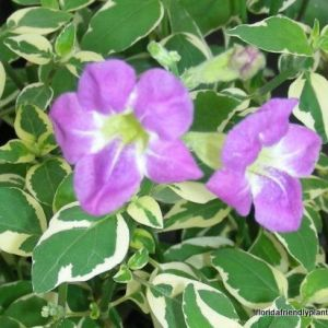 asystasia plant groundcover