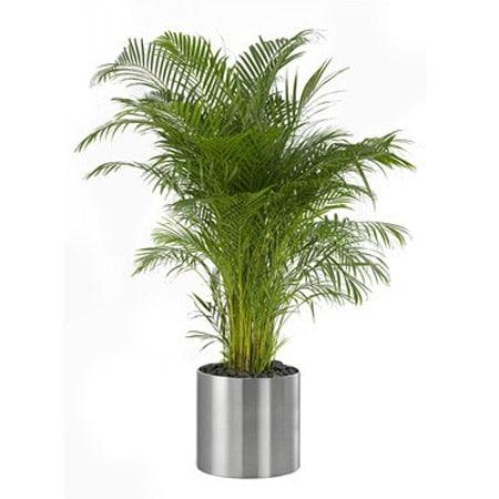 Chrysalidocarpus lutescens or Areca Palm |