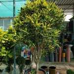 croton codiaeum