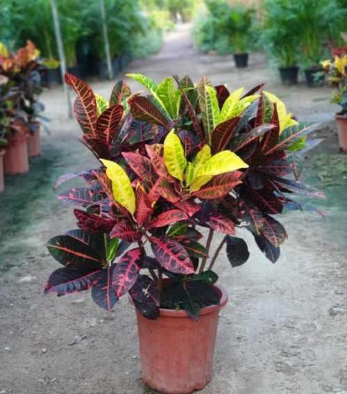 croton codiaeum Exoticplantsouq.ae