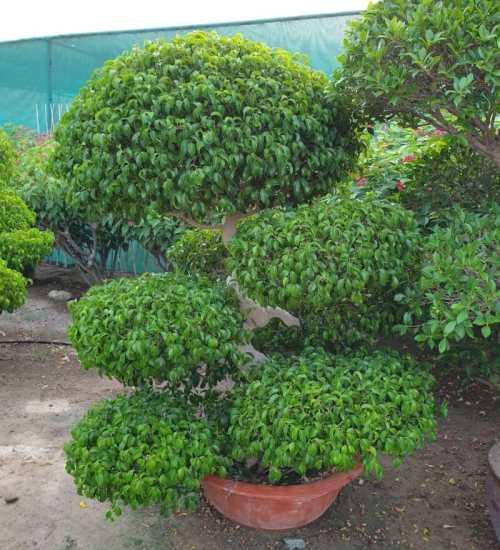 Ficus benjamina 'Danielle' Bonsai Exoticplantsouq.ae