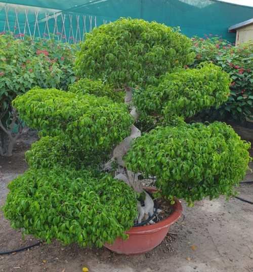 Ficus benjamina 'Danielle' Bonsai