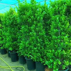 Ficus Panda Cone Shaped png