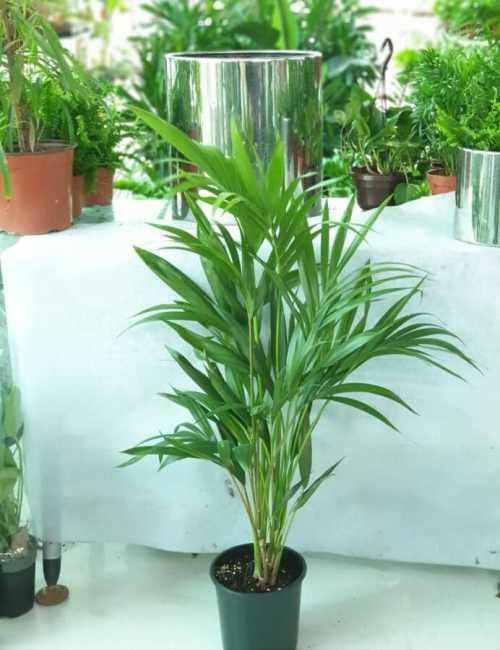 Howea forsteriana Kentia Palm- -Indoor Plant