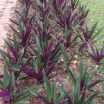 Moses_in_the_cradle_(Tradescantia_spathacea)_4