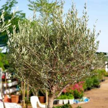 olea europea Plant
