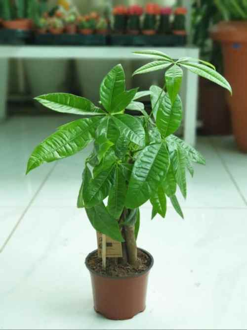 pachira-aquatica-p--cm Indoor Plants