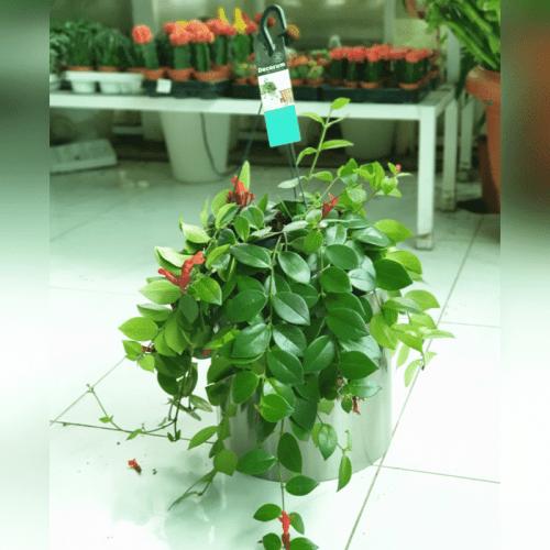Aeschynanthus Monalisa (Lipstick Plant)