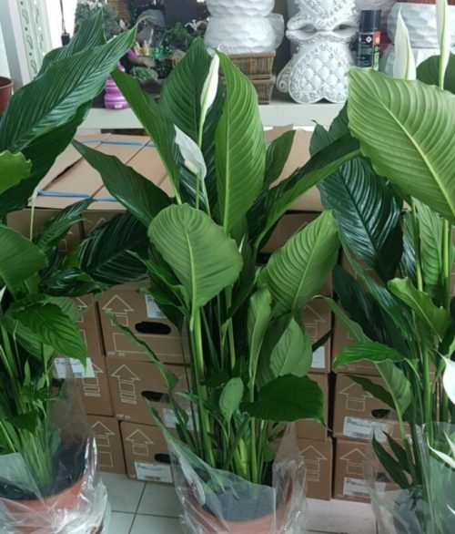 Spathiphyllum-wallisii-Lima-Peace-lily-Indoor-Plants