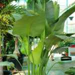 Strelitzia nicolai (Giant Bird of Paradise) 1.7 – 2m