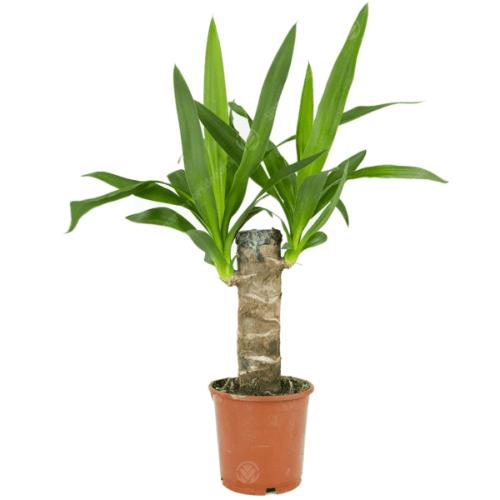yucca-elephantipes-12cm