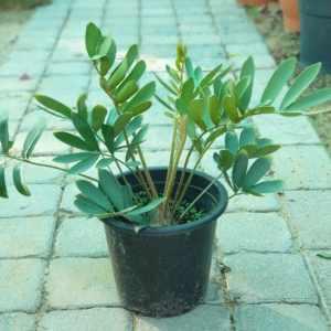 Zamia furfuracea or Cardboard Palm