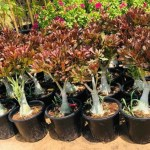 Desert Rose Adenium Red