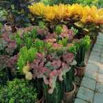 Euphorbia lactea (Grafted Cactus)