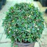 Ehretia Microphylla | Ball | Round Shaped