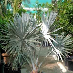"Bismarckia palm🌴 ""Bismarckia nobilis"""