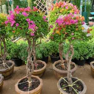"Bougainvillea ""Single Head"" Grafted"