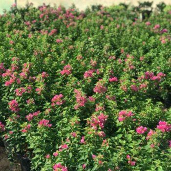 bougainvillea pink pixie