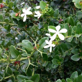 Carissa grandiflora - (Natal Plum)