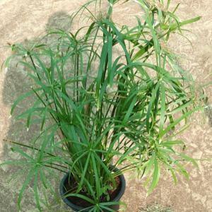cyperus alternifolius Grass