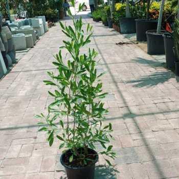 dodonaea plant