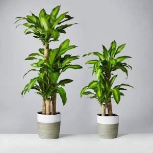 Dracaena fragrans 'Massangeana'
