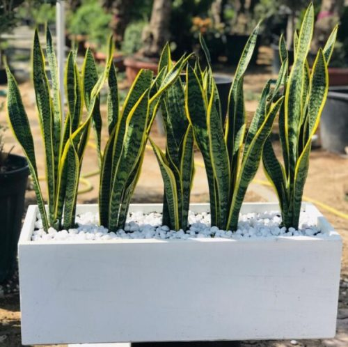 Sansevieria Or Snake Plant Outdoor Exoticplantsouq Indoor Plants Outdoor Plants Plant Pots