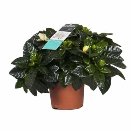 gardenia-jasminoides Indoor Plants
