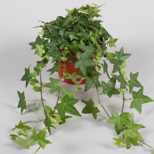 Hedera Helix - English Ivy -- Hanging