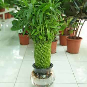 Lucky Bamboo Bowl Pot