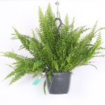 Nephrolepis exaltata 'Green Lady' - Boston fern