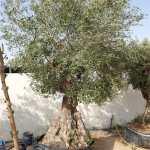 Olive – Olea Europe, olive specimen Tree