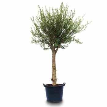 Olive - Olea Europea
