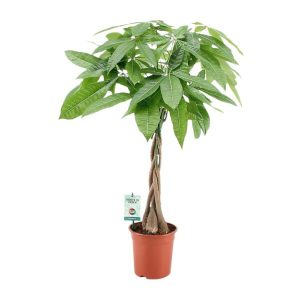 "Pachira aquatica, Money Tree ""Twisted Trunk"" 130 – 150cm شجرة المال"