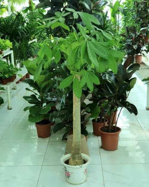 Pachira Trunk (Pachira Aquatica, Money Tree)