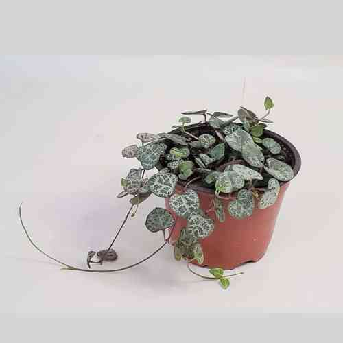 Ceropegia woodii or String of Hearts