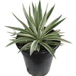 agave angustifolia marginata (1)