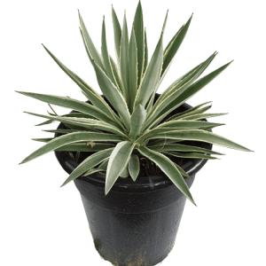 agave angustifolia marginata