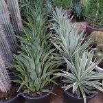 agave attenuata marginata