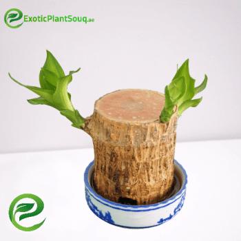 Brazilian Lucky Wood