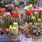 cactus-plants-250×250