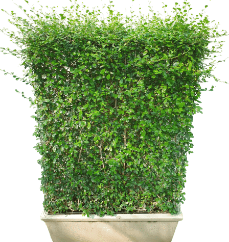 eritrea microphylla Boxes Wall Shaped Plant