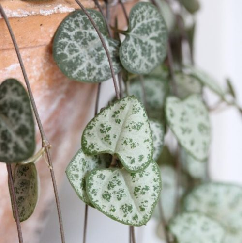 String of Hearts – Ceropegia woodii