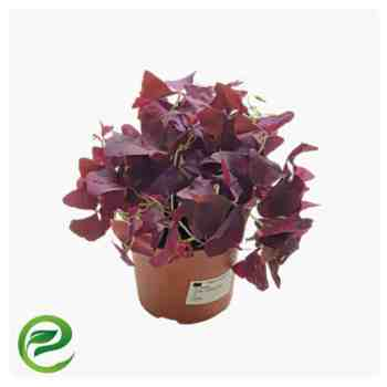 Oxalis triangularis -exoticplantsouq.ae-