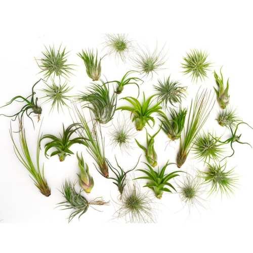 """Air Plants """"Tillandsia"""""""