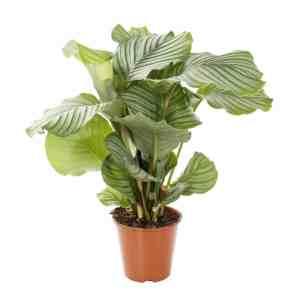 Calathea-Orbifolia-