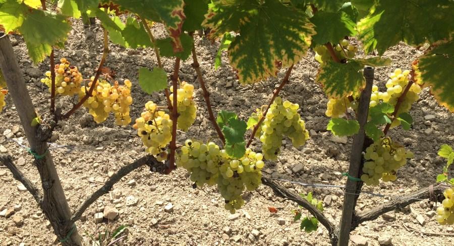 Mlecnik Grapes