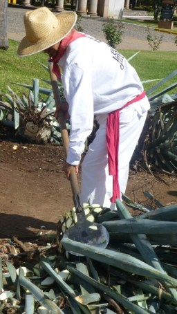 Harvesting the blue agave