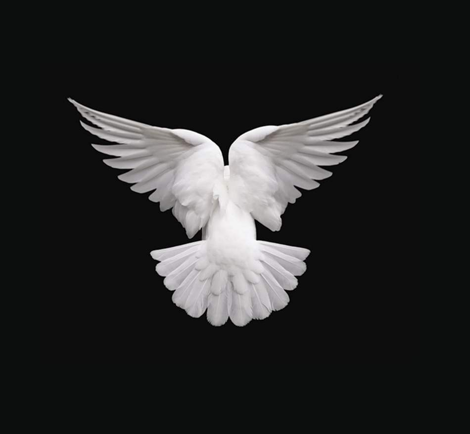 Dove with wings unfolding
