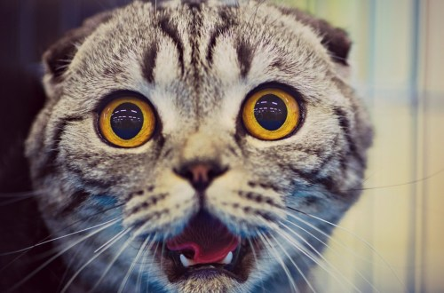 Surprised tabby cat
